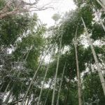 竹の開花 反響の真相がヤバい!100年に1度の大変まれなケース
