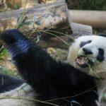 白いパンダ 初撮影がヤバい!画像は?白黒じゃないと可愛くない!